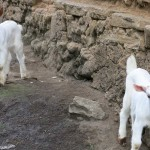 pfk_Goats for life