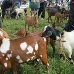 pfk_ziegenkauf Goats for life