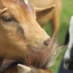 pfk_ziegenkauf Goats for life (2)