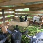 pfk_ziegenstall Goat for life